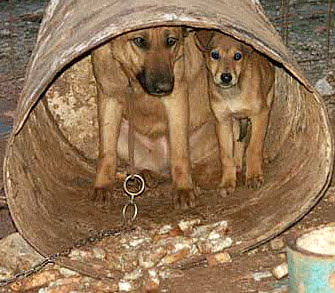 Chained dogs