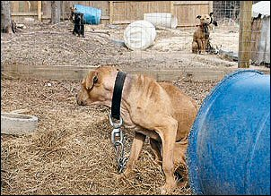 Pit-Bull-Fight-1.jpg